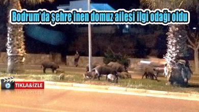 Photo of Bodrum'da şehre inen domuz ailesi ilgi odağı oldu