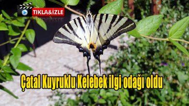 Photo of Çatal Kuyruklu Kelebek ilgi odağı oldu