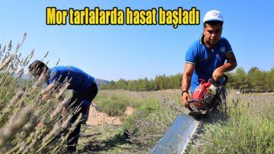 Photo of Mor tarlalarda hasat başladı