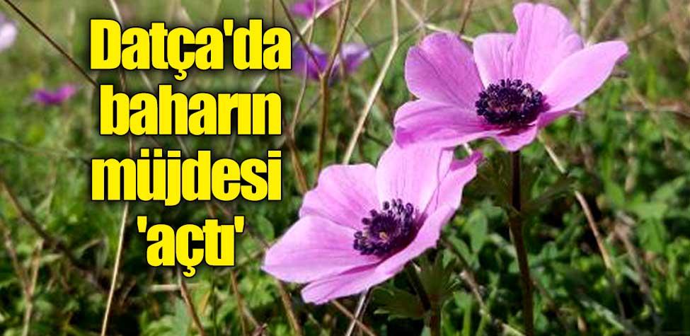 Datça'da baharın müjdesi 'açtı'
