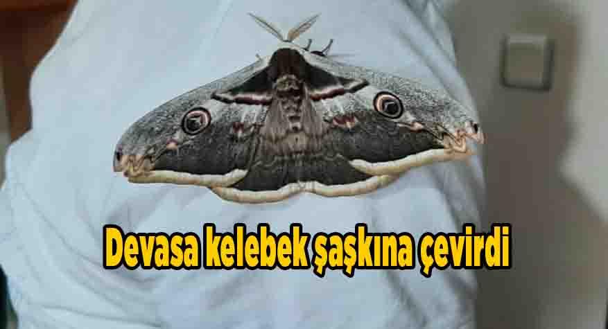 Devasa kelebek şaşkına çevirdi