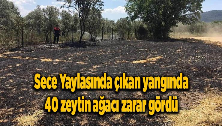 Sece Yaylasında çıkan yangında 40 zeytin ağacı zarar gördü
